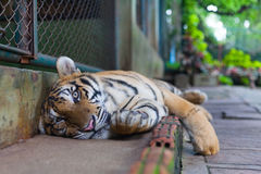 Relaxing Tropical Orange Striped Tiger Paw in Tiger Temple Thailand North Chang Mai royalty free stock photo