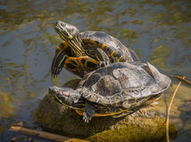 Relaxing turtles Stock Photography