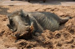 Relaxing warthog. Digging in the cold sand is the favourite of an warthog Stock Photography