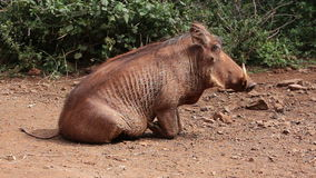Relaxing warthog Royalty Free Stock Photo