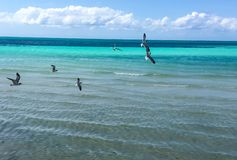 Ocean Birds. Tropical vacation getaway watching the teen full seagulls fly over the multi colored turquoise blue light blue water water with a tropical ocean Royalty Free Stock Photo