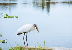 Relaxing White Wood Stork Bird on the lake in the winter Stock Photos