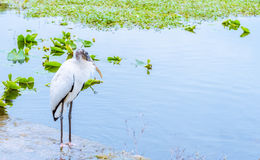 Relaxing White Wood Stork Bird on the lake in the winter Stock Images