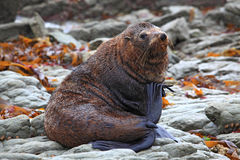 Relaxing wild seal royalty free stock photography