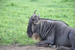 Relaxing wildebeest Royalty Free Stock Image