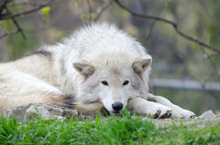Relaxing wolf. Nice quiet relaxed wolf laying in the grass Stock Images