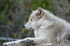 Relaxing wolf Stock Images