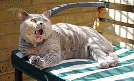 Relaxing yawning pedigree cat on bench Stock Photos
