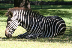 Relaxing Zebra Royalty Free Stock Image