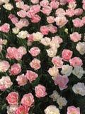 Relazioni amorose: Tulipani bianchi e di rosa fotografia stock libera da diritti