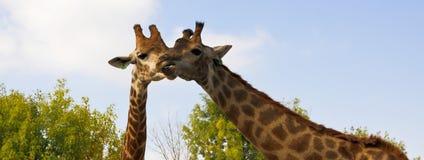 Relazioni delicate delle due giraffe Immagini Stock