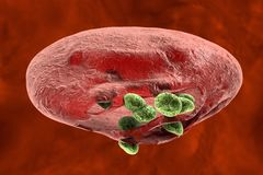 Release of malaria parasites from red blood cell Royalty Free Stock Image