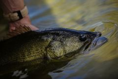 Releasing A Big Largemouth Bass. After catching it royalty free stock image