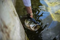 Releasing A Big Largemouth Bass. After catching it royalty free stock photography