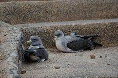 Releasing of cory`s shearwaters. Releasing of cory`s shearwaters Calonectris diomedea borealis. Juveniles. La Caleta. Agaete. Gran Canaria. Canary Islands Stock Image