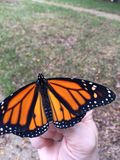Monarch butterfly release from. Releasing monarch butterfly into wild, perched on royalty free stock photos