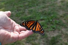 Releasing a newly hatched monarch butterfly stock photo