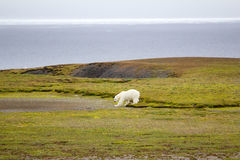 Relevant today: in summer, polar bears remain on Islands and  search of food. Polar bear (Ursus maritimus) wanders among the polar gravelly desert, sniffs, looks Stock Image