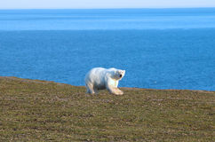 Relevant today: in summer, polar bears remain on Islands and  search of food Royalty Free Stock Photos
