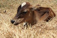 Relex del vitello al lato di paglia Fotografia Stock