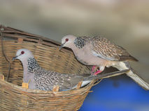 Reliable Dove Parents Together. Dove Parents in The Nest; concept of togetherness,unity,relibility Stock Images