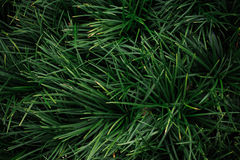Reliable 'Grass Type' Ground Covers - Ophiopogon texture Royalty Free Stock Photo