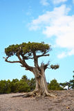 Relic juniper growing on rock royalty free stock photography