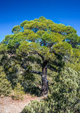 Relic juniper and pine groves , miraculously growing on rocks of Royalty Free Stock Images