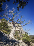 Relic juniper and pine groves , miraculously growing on rocks of stock photo