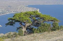 Relic pine high on a mountain. Crimea. Stock Photo
