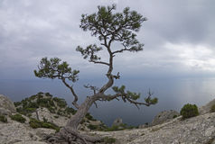 Relic pine in the rocks on the seashore. Royalty Free Stock Images