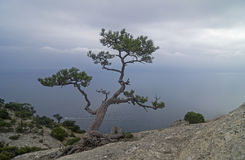 Relic pine in the rocks on the seashore. Stock Photography