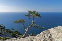 Relic pine in the rocks on the seashore. Stock Photo