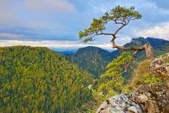 Relic pine at top of The Pieniny Sokolica Mountain Stock Photo