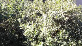 Relict δέντρα στο φυσικό πάρκο Anaga, Tenerife, Κανάρια νησιά Δέντρα που καλύπτονται με το βρύο, υψηλή υγρασία Αρχαία δάση στο θό φιλμ μικρού μήκους