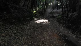 Relict δέντρα στο φυσικό πάρκο Anaga, Tenerife, Κανάρια νησιά Δέντρα που καλύπτονται με το βρύο, υψηλή υγρασία Αρχαία δάση στο θό απόθεμα βίντεο