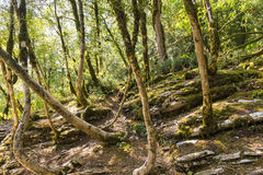 Relict Colchis boxwood lat. Buxus colchica on the mountain rock Royalty Free Stock Image
