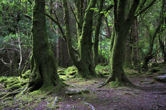 Relict forest in the Torc Mountain. Royalty Free Stock Photos