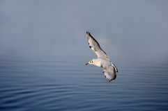 Relict Gull Royalty Free Stock Image