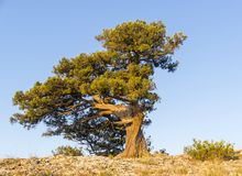Relict juniper against the blue cloudless sky. Relict juniper Juniperus excelsa against the blue cloudless sky. Karaul-Oba, Novyy Svet, Crimea Stock Images