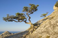 Relict juniper against a cloudless sky. Relict juniper Juniperus excelsa against a cloudless sky. Top of Karaul-Oba, Novyy Svet, Crimea Royalty Free Stock Photography