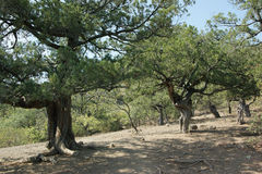 Free Relict Juniper Forest Stock Photo - 28340240