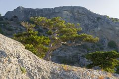 Relict juniper illuminated by the morning sun. Relict juniper Juniperus excelsa illuminated by the morning sun against a background of a steep cliff Royalty Free Stock Image