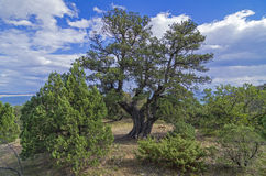Relict juniper tree, Crimea. Relict juniper tree in the Crimean mountains stock images