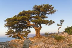 Relict junipers on top of the mountain the morning sun. Relict junipers Juniperus excelsa on top of the mountain above the sea in the morning sun. -Oba, Novyy Royalty Free Stock Photos