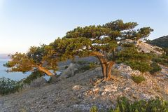 Relict junipers at the top of the mountain the morning sun. Royalty Free Stock Photography