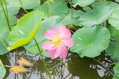 Lake with blooming lotuses Royalty Free Stock Photo