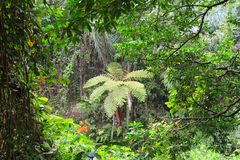 Relict palm tree fern in Bali forest Royalty Free Stock Image