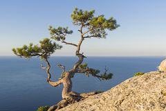 Relict pine above the sea. Relict pine on a steep rocky slope above the sea. Karaul-Oba, Novyy Svet, Crimea Royalty Free Stock Image