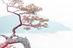 Relict pine on a background of blue mountains, the concept of peace, tranquility and meditation royalty free stock images
